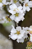 Almond blossoms Royalty Free Stock Photos