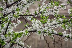 Almond blossoms stock image