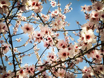 Almond blossoms with its fruit Royalty Free Stock Photo