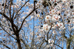 Almond blossoms. Lots of white flowers, sign of spring and purity Royalty Free Stock Images