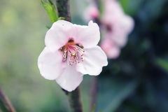 Almond blossoms Royalty Free Stock Photo