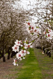 Almond blossoms in an orchard. Close up of pink and white almond blossoms framed by rows of almond trees Royalty Free Stock Photo