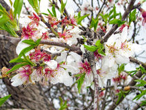 Almond Blossoms. Pink Almond Blossoms in a Garden Stock Photography