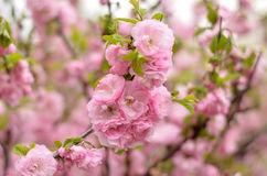 Almond blossoms Prunus triloba Plena. Royalty Free Stock Photos