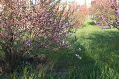 Almond blossoms in the city royalty free stock photos