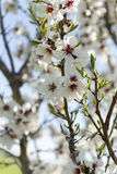 Almond blossoms. On a small branch Royalty Free Stock Photo