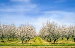 Almond Blossoms in Spring Royalty Free Stock Photos