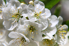 Almond blossoms, Spring flowers Royalty Free Stock Photos