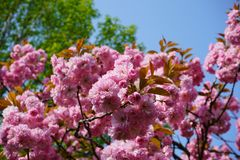 Almond blossoms in springtime, bright pink in full bloom stock images