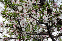 Almond Blossoms on Tree Royalty Free Stock Photo