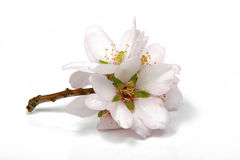 Almond blossoms on white Royalty Free Stock Photo