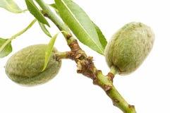 Almond branch Stock Photos