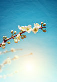 Almond Branch Royalty Free Stock Images