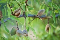Almond branch Stock Photo