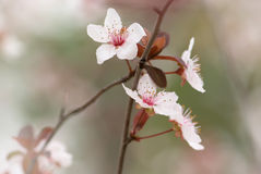 Almond branch Stock Photography