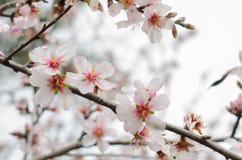 Almond branch in bloom. Almond branch in bloom, horizontal photo Royalty Free Stock Photos