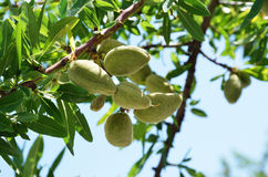 Almond branch with bunch of fruits. The branch of almond tree is photographed close-up against the blue sky in spring. There are many sunlit green leaves and the Stock Photography