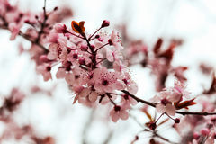 Almond  branch with flowers Royalty Free Stock Photos