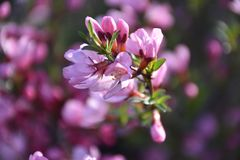 Flowering almond branch royalty free stock photography