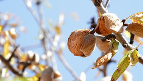 Almond in branch of a sunny day. Almond in branch of a almond tree a sunny day stock footage