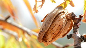 Almond in branch of a sunny day. Almond in branch of a almond tree a sunny day stock video
