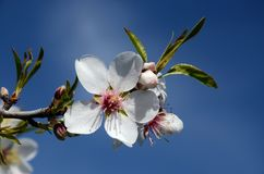 Almond branch with white flowers Royalty Free Stock Photos
