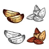 Almond and Brazil nut sketch for superfood design. Fresh nut isolated sketch of almond and Brazil nut. Kernel and seed of natural nut with shell icon for healthy royalty free illustration