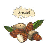 Almond collection hand drawing. Vintage style.Engraving drawing style Stock Images