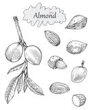 Almond collection hand drawing vintage style.Engraving drawing s. Tyle Stock Image