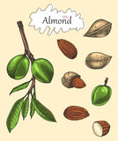 Almond collection hand drawing vintage style.Engraving drawing s. Tyle Royalty Free Stock Images