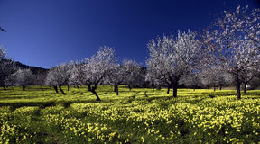 Almond Field. Orchard of almond trees in field of yellow flowers and dark blue sky Royalty Free Stock Photos