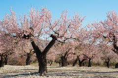 Almond field Royalty Free Stock Photography
