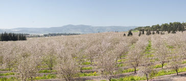 Almond field bloom at Jezreel Valley Royalty Free Stock Photo