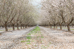 Almond Field Blooms Royalty Free Stock Photography