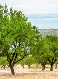 Almond Field Royalty Free Stock Images