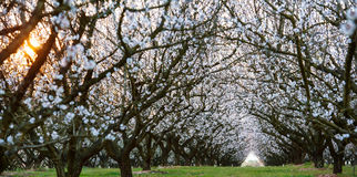 Almond field at sunset Royalty Free Stock Photos