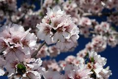 Almond flower Stock Photos
