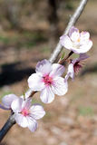 Almond flower Stock Photo
