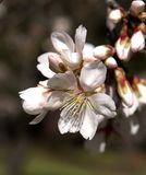 Almond flower Royalty Free Stock Photos