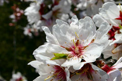 Almond flower. Closeup of an almond tree flower Royalty Free Stock Image