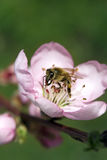 Almond flower with bee royalty free stock photos