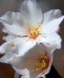 Almond flower close up stock image