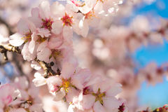Almond flower, macro. Blurred background. Close-up. Royalty Free Stock Images