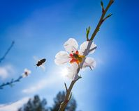 Almond flower tree with bee pollination in spring. At Mediterranean Stock Photos