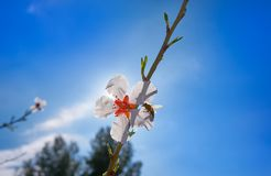 Almond flower tree with bee pollination in spring. At Mediterranean Stock Photography