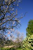 Almond in flower tree and nopal cactus Stock Photos