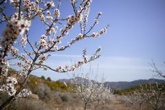 Almond flower trees field  pink white flowers Royalty Free Stock Photos