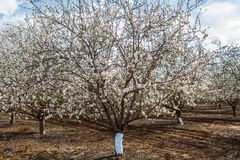 Almond flower trees at spring Stock Photography