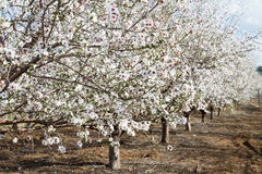 Almond flower trees at spring Stock Image