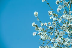Almond flower trees at spring Stock Photos